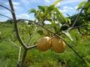 Fruticultura 4